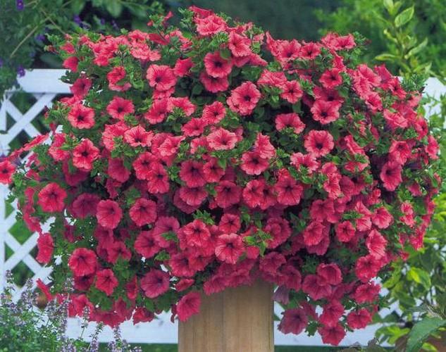 Azbuka biljaka - Page 3 Surfinija_crvena